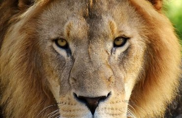 lion-2869753-pixabay