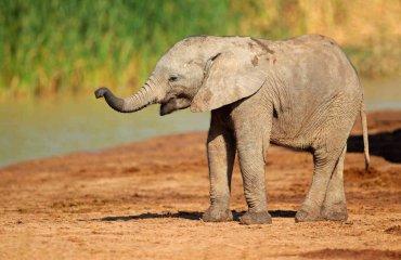 Elefantesjunges - EcoView fotolia