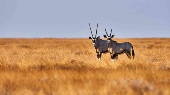 Oryx-Antilopen in der Savanne - lucaar fotolia