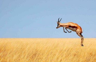 Springbock im Etosha-Nationalpark - Carina fotolia