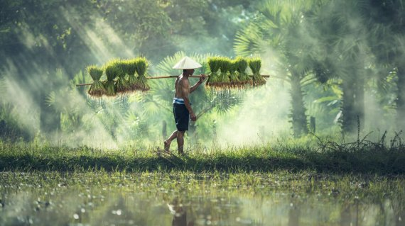 Rice farming, Farmers grow rice in the rainy season. They were s
