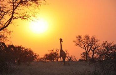 giraffe-1042618_1920